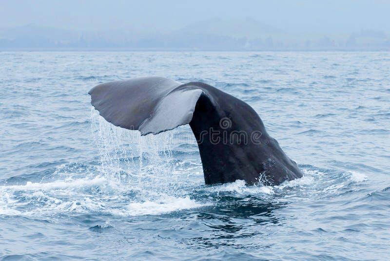 Sperma wieloryba Physeter macrocephalus ogonu fuks nad - woda podczas nura w Kaikoura, Nowa Zelandia fotografia stock