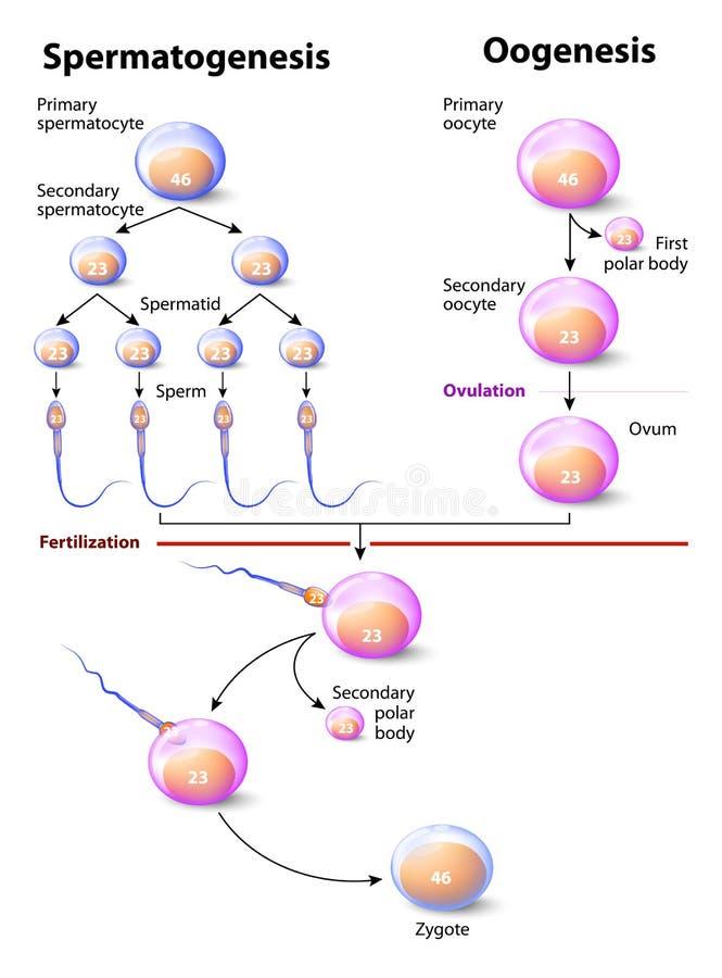 Spermatogenesi e oogenesi illustrazione di stock