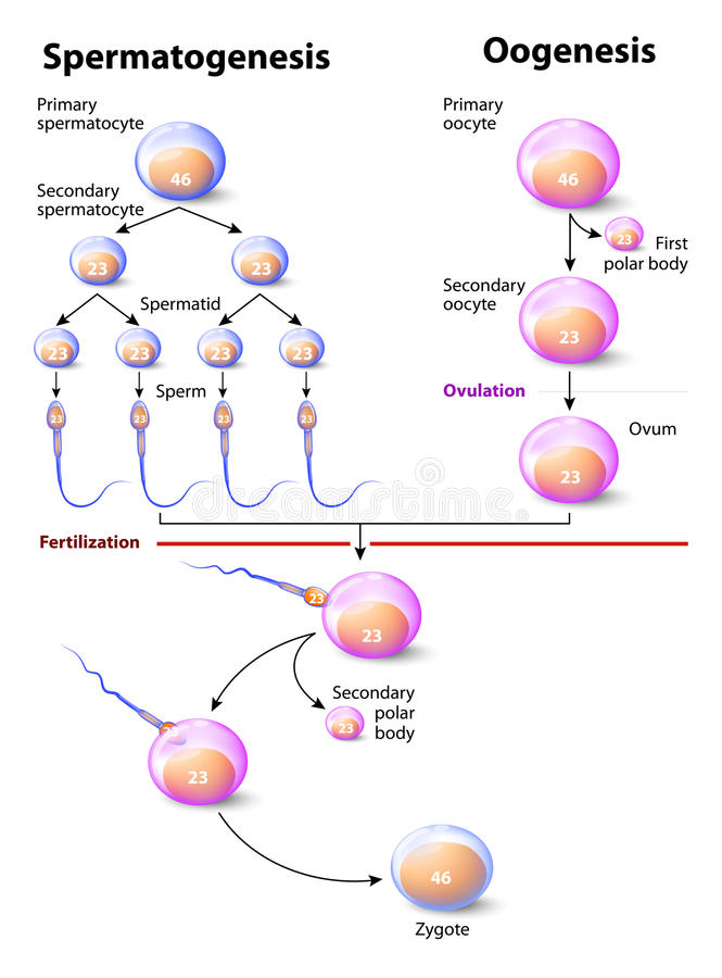 Spermatogenesis And Oogenesis Stock Vector