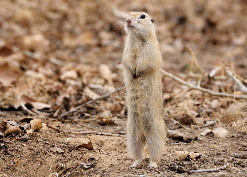 Download Spermophilus stock image. Image of watching, mammals - 14106661