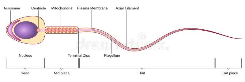 Spermy komórki anatomia ilustracja wektor