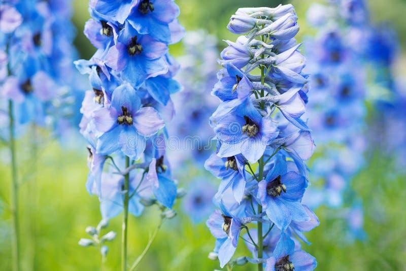 Speronella del fiore immagini stock