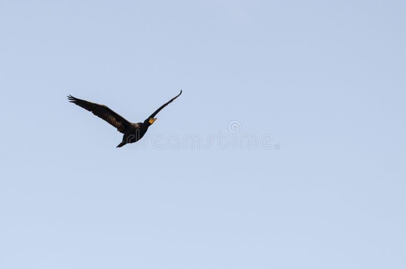 Spese generali giranti del cormorano a doppia cresta fotografia stock libera da diritti