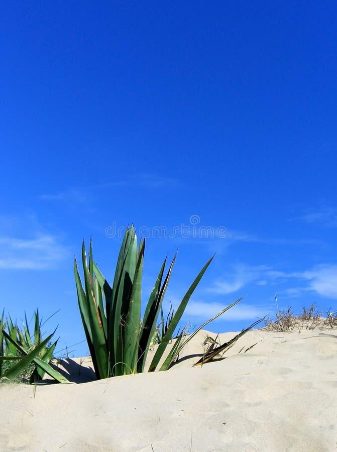 Spetsig Agaveväxt på sanddyn mot blå himmel royaltyfria bilder