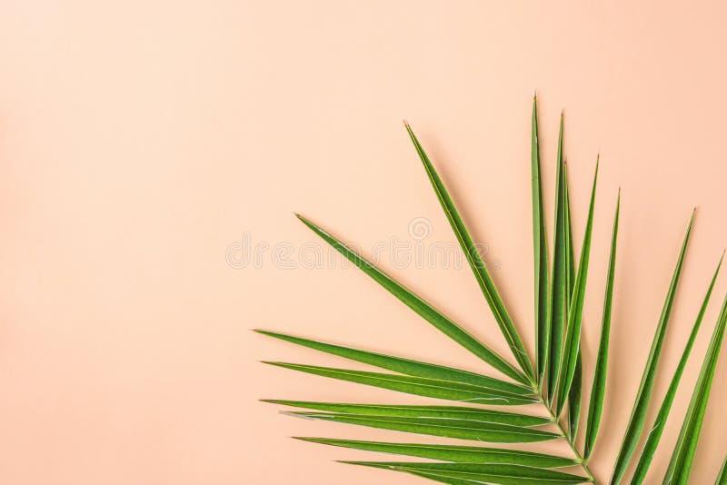 Spetsig fjäderlik grön palmblad på rosa Peachy väggbakgrund Spa för skönhetsmedel för garnering för rumväxtinre organisk Wellness arkivfoto