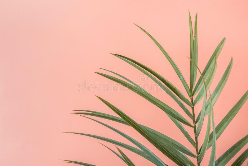 Spetsigt palmträdblad på rosa Peachy väggbakgrund Garnering för rumväxtinre Färger för skraj stil för Hipster pastellfärgade arkivfoto