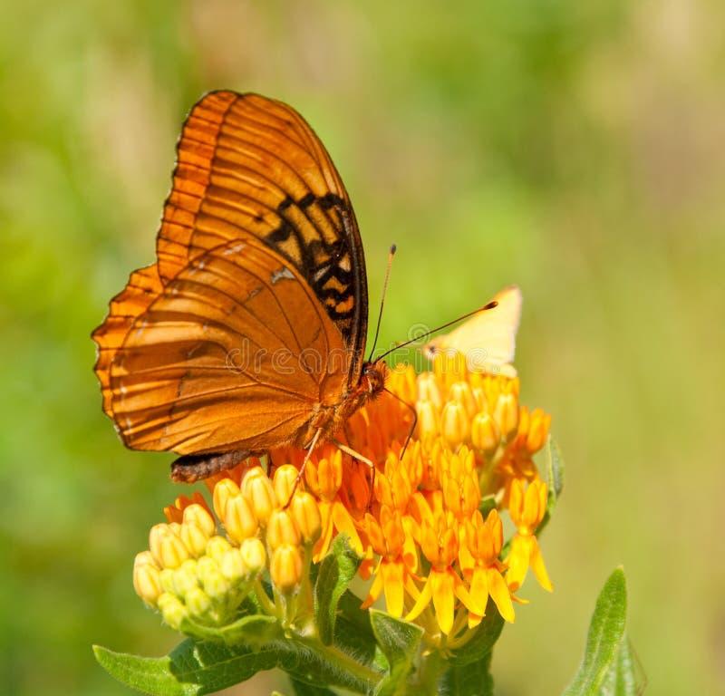 Speyeria diana, бабочка Диана на Butterflyweed стоковые фотографии rf