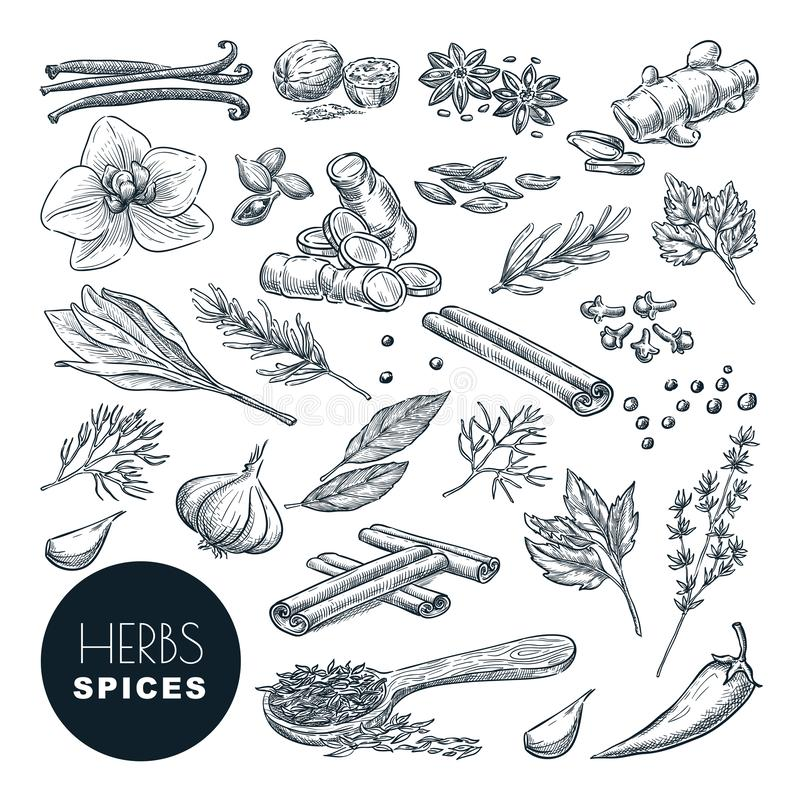 Spezie, insieme delle erbe Illustrazione disegnata a mano di schizzo di vettore, isolata su fondo bianco Cottura delle icone, ele illustrazione di stock