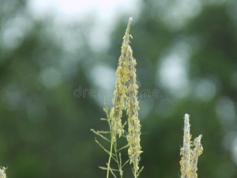 Spezielles Gras stockfotografie
