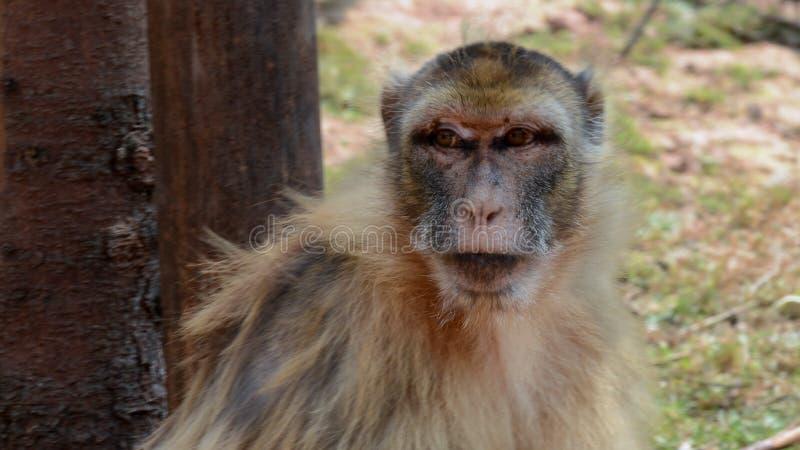 Spezies: Macaca sylvanus lizenzfreie stockbilder