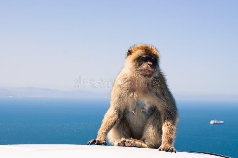 Spezies: Macaca sylvanus stockbilder