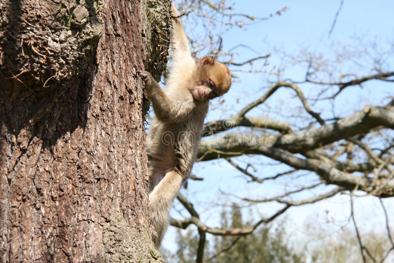 Spezies: Macaca sylvanus stockbild
