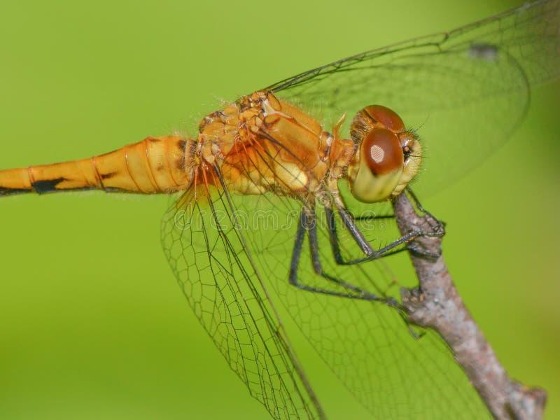 Spezies von meadowhawk Libelle auf Niederlassung - extreme Nahaufnahme des Kopfes und des Thoraxes - obere Mittelwesten-Spezies stockbilder