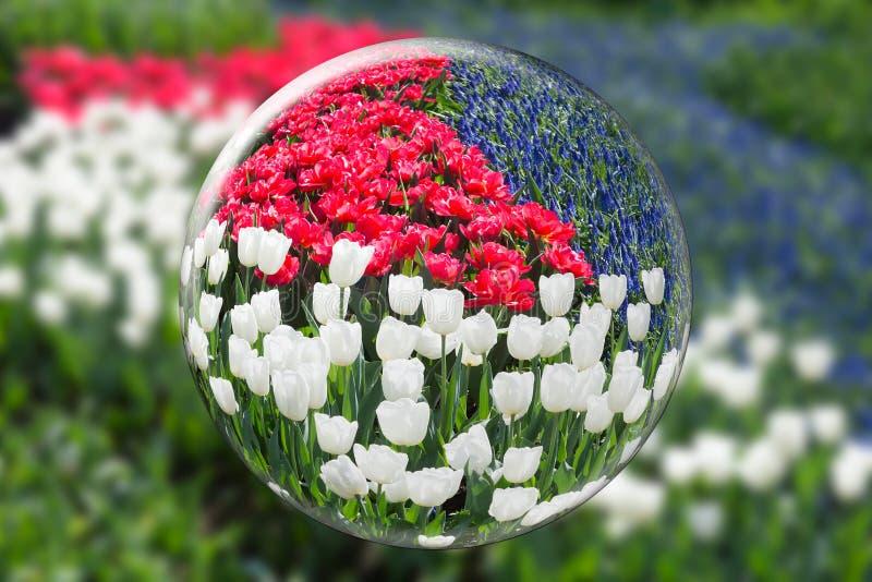 Sphère en verre reflétant les tulipes blanches rouges et les jacinthes de raisin bleues image libre de droits