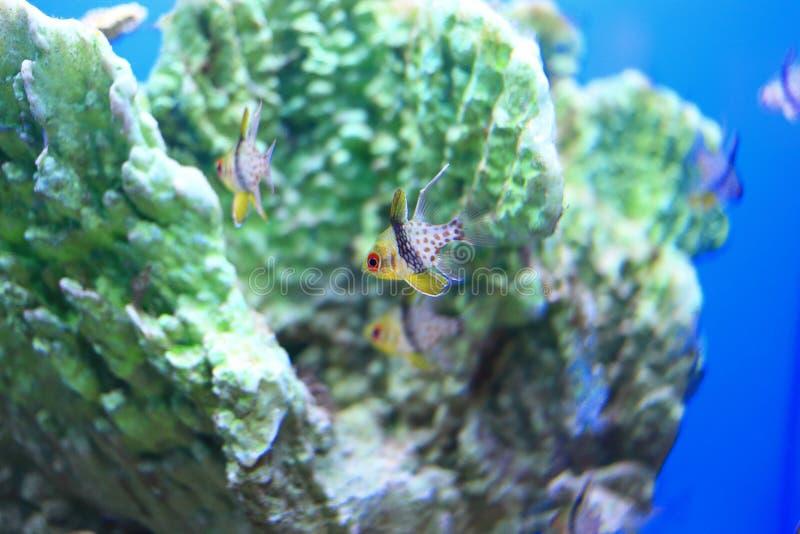 Sphaeramia nematoptera 免版税库存图片