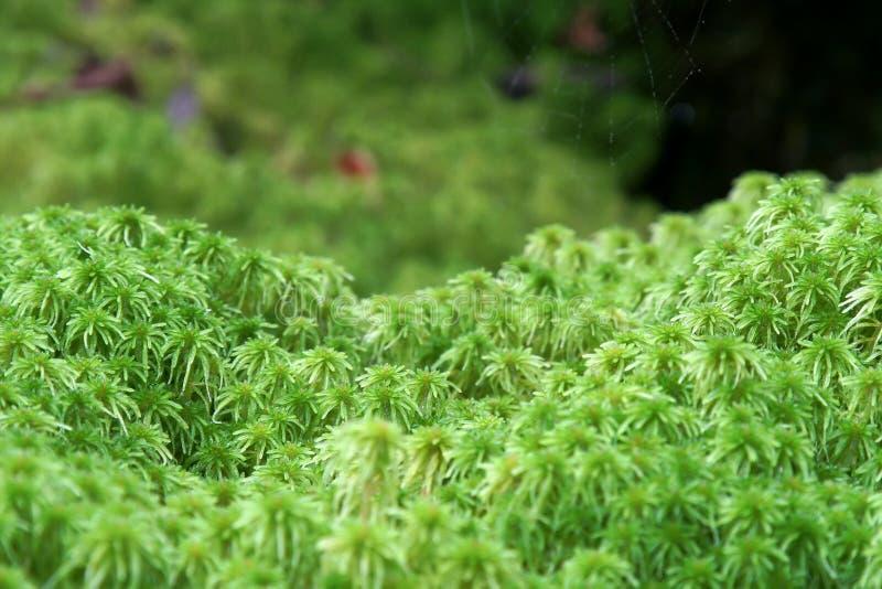 sphagnum βρύου στοκ εικόνες