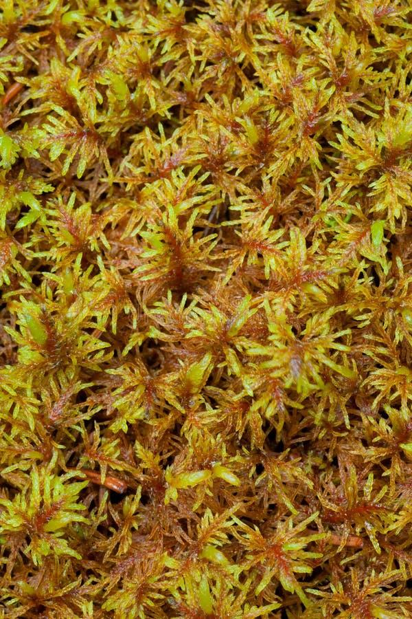 sphagnum τύρφης βρύου στοκ φωτογραφίες