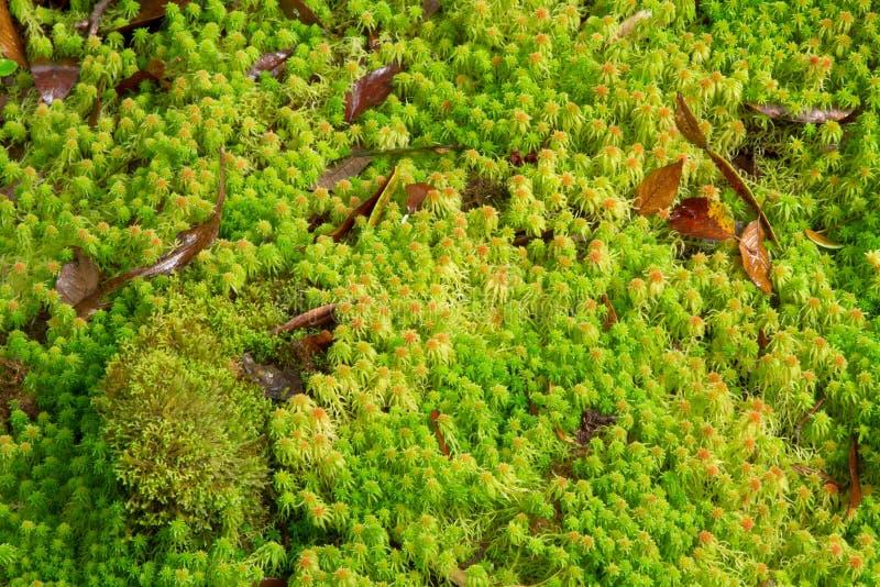 Sphagnum moss arkivfoton