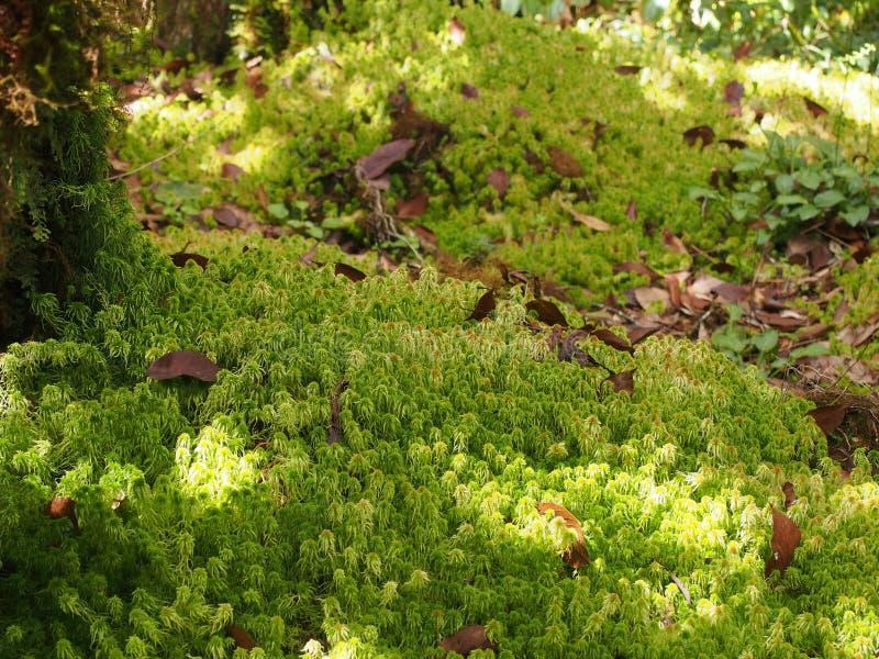 Sphagnum moss arkivbild