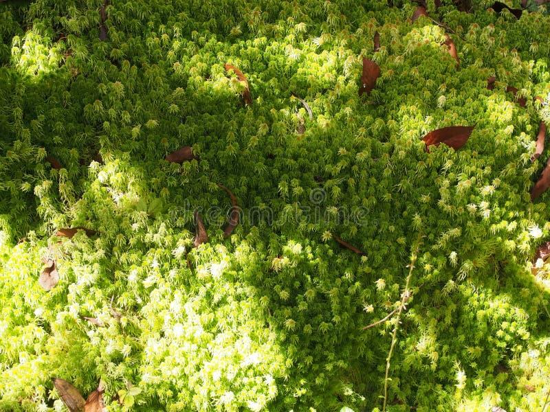 Sphagnum moss arkivbilder