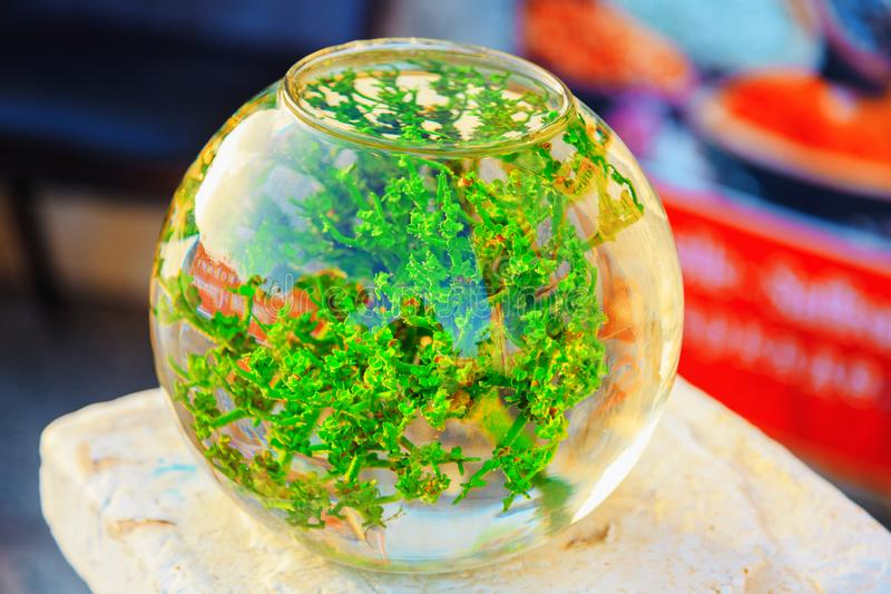 Spherical aquarium with green algae. Fish house stock photo
