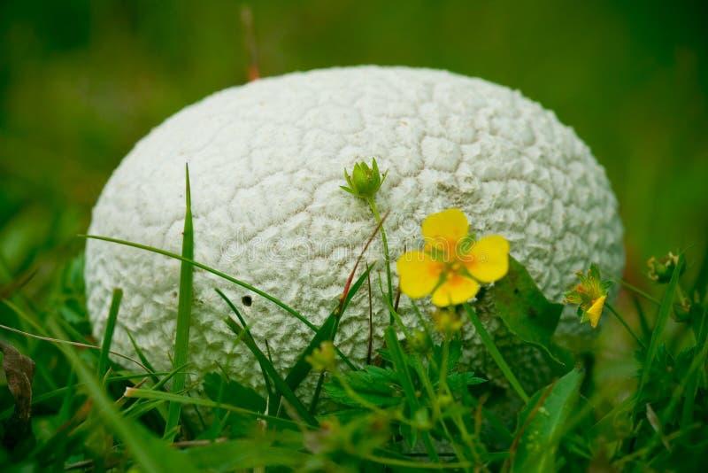 Spherical mushroom royalty free stock photography