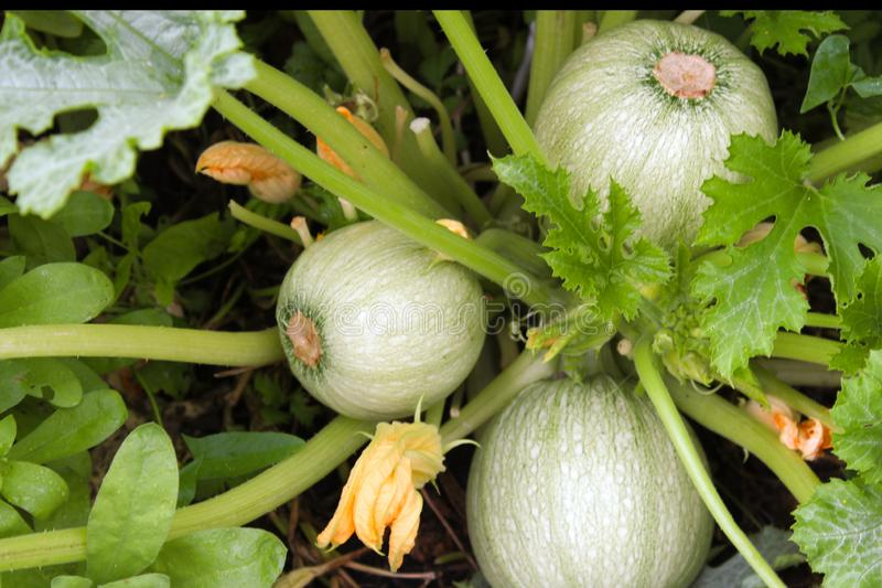 The spherical ovary and flower of zucchini on a bush in the garden. Agricultural concept, cultivated plants.  stock photo