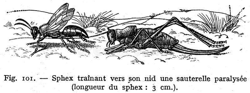 Sphex Free Public Domain Cc0 Image