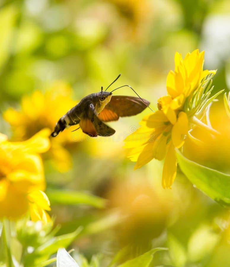 Sphingidae som är bekant som biHök-malen som tycker om nektaret av en gul blomma Kolibrimal Calibri mal arkivbilder