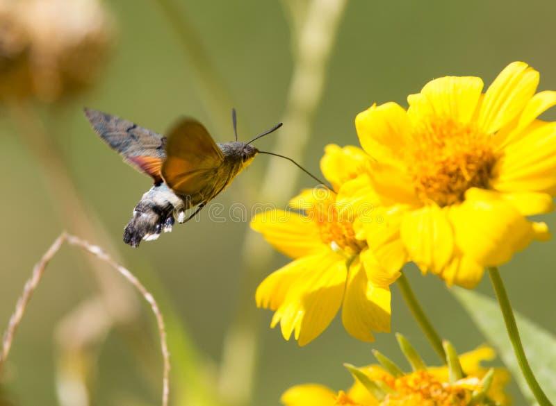 Sphingidae som är bekant som biHök-malen som tycker om nektaret av en gul blomma Kolibrimal Calibri mal royaltyfria bilder