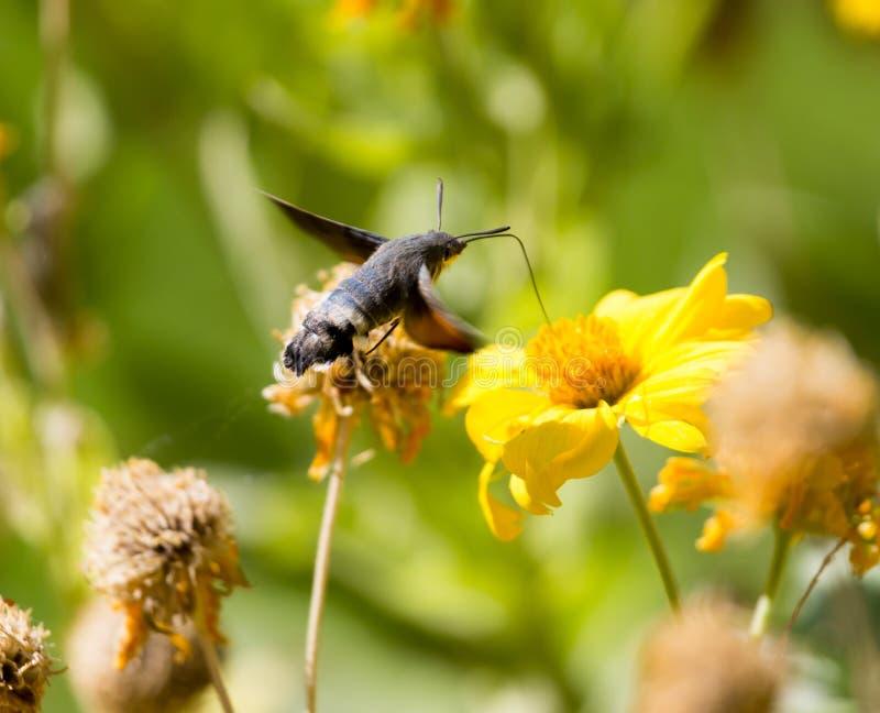 Sphingidae som är bekant som biHök-malen som tycker om nektaret av en gul blomma Kolibrimal Calibri mal royaltyfri foto