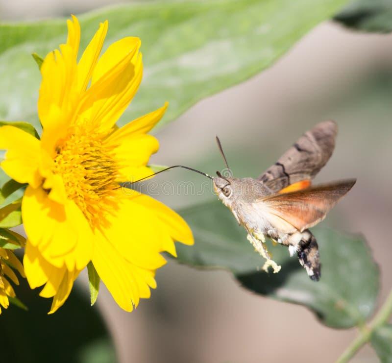 Sphingidae som är bekant som biHök-malen som tycker om nektaret av en gul blomma Kolibrimal Calibri mal fotografering för bildbyråer