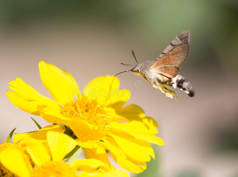 Sphingidae som är bekant som biHök-malen som tycker om nektaret av en gul blomma Kolibrimal Calibri mal arkivfoton