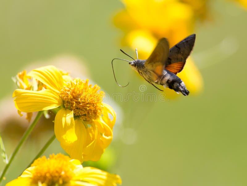 Sphingidae som är bekant som biHök-malen som tycker om nektaret av en gul blomma Kolibrimal Calibri mal arkivfoto