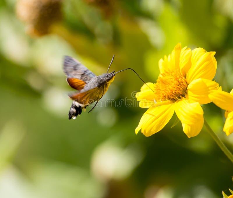 Sphingidae som är bekant som biHök-malen som tycker om nektaret av en gul blomma royaltyfria foton