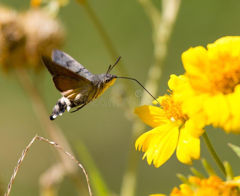 Sphingidae, znać jako pszczoły ćma, cieszy się nektar żółty kwiat fotografia royalty free