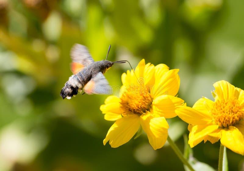Sphingidae, znać jako pszczoły ćma, cieszy się nektar żółty kwiat zdjęcia royalty free