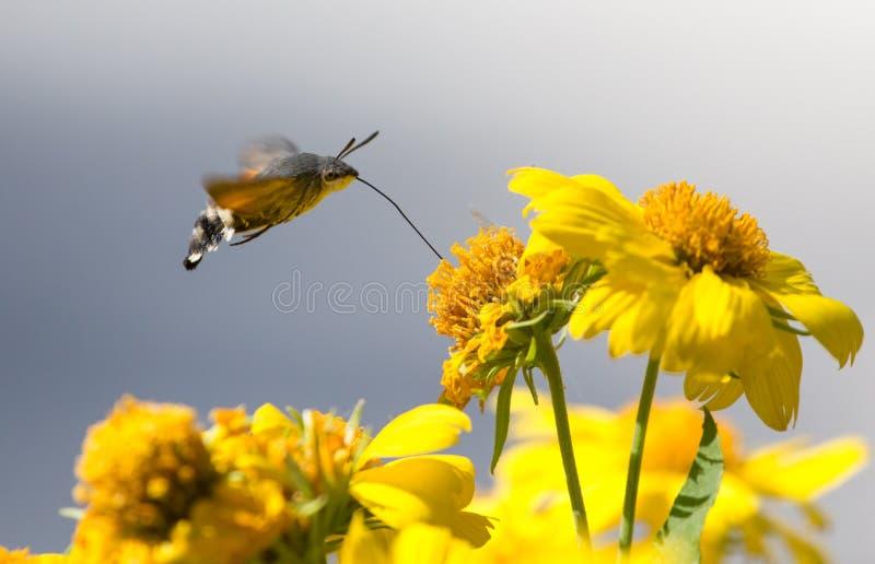 Sphingidae, znać jako pszczoły ćma, cieszy się nektar żółty kwiat Hummingbird ćma Calibri ćma zdjęcia stock