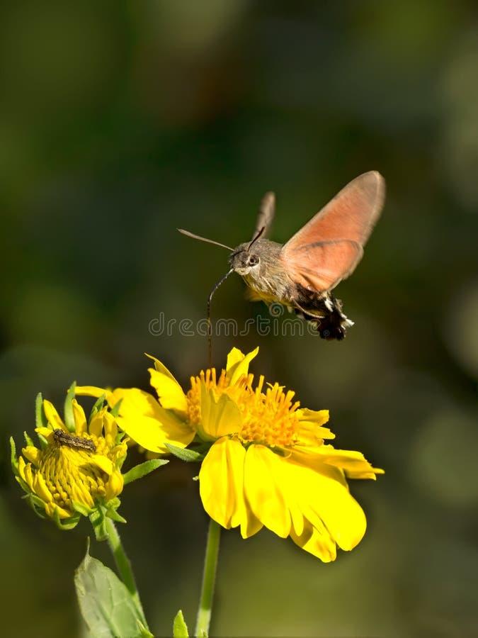 Sphingidae, znać jako pszczoły ćma, cieszy się nektar kwiat obrazy royalty free