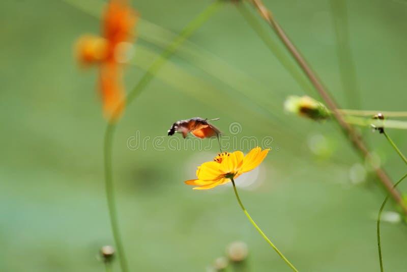 Sphingidae, znać jako pszczoły ćma, cieszy się nektar pomarańczowy kwiat Hummingbird ćma Calibri ćma fotografia stock