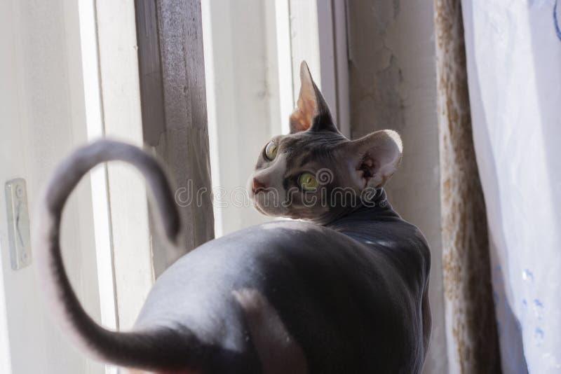 Sphinx canadien, chat chauve, chat chauve, yeux verts photos libres de droits