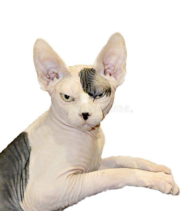Sphinx cat.