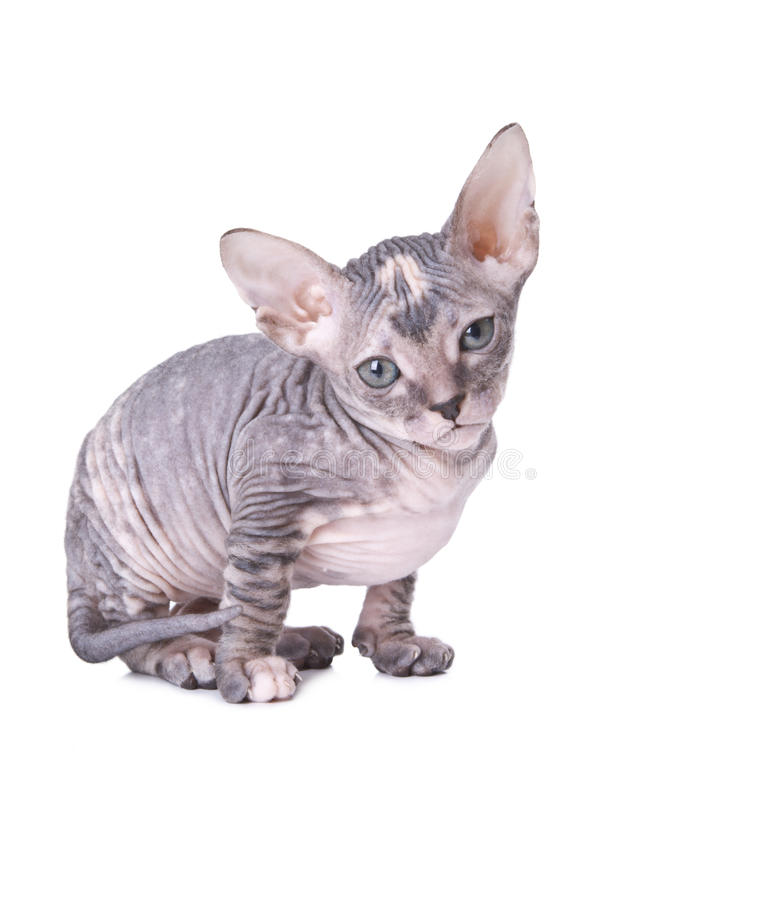 Download Sphinx cat stock photo. Image of baldheaded, purebred - 22291778