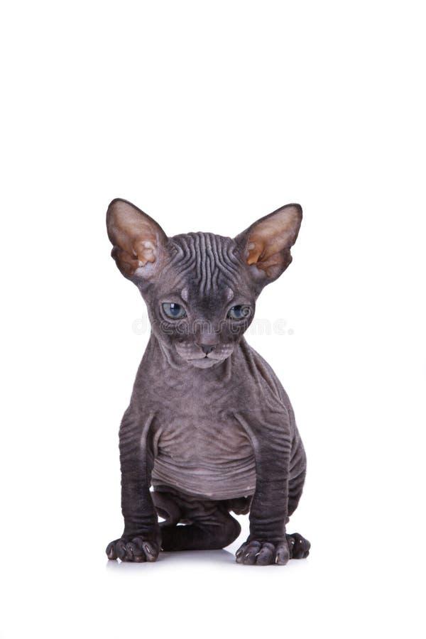 Download Sphinx Cat Stock Image - Image: 22394271