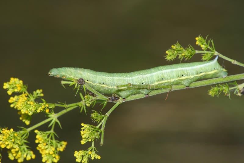 Sphinx caterpillar (Macroglossum stellatarum) stock photography