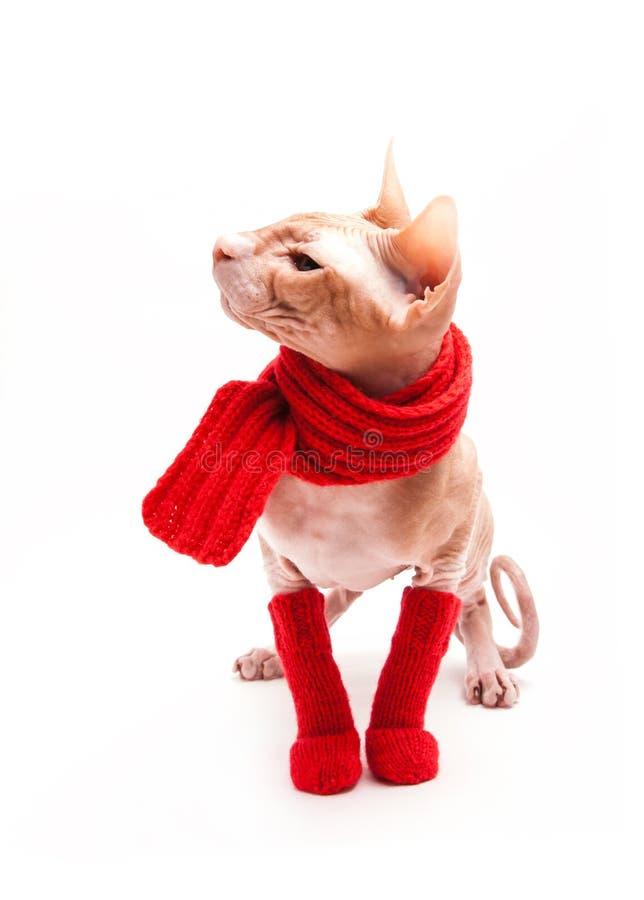Sphinx de chat chaud avec l'écharpe et les chaussettes rouges image libre de droits
