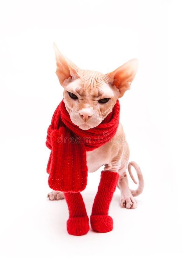 Sphinx de chat chaud avec l'écharpe et les chaussettes rouges image stock