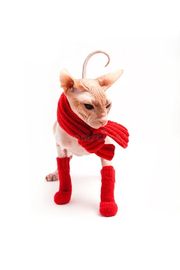 Sphinx de chat chaud avec l'écharpe et les chaussettes rouges images stock