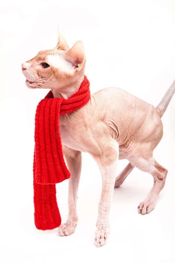 Sphinx de chat chaud avec l'écharpe rouge photo libre de droits