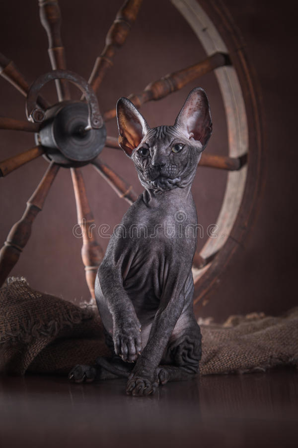 Download Sphinx De Chat De Kitty, Chauve Nu Image stock - Image du chat, detail: 45352045